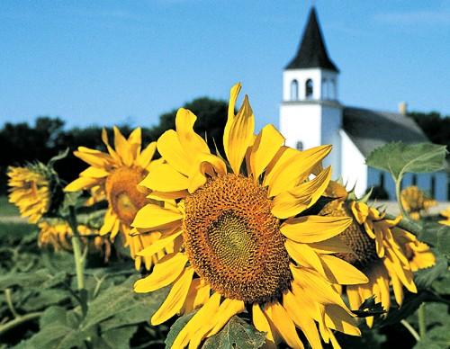 North Dakota Sunflower